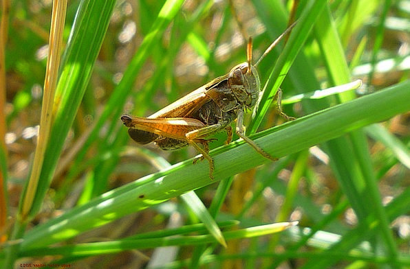 Grasshopper-Brown-Insects-Day-Free-Image-Sitting-W-2582